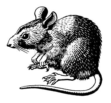 Illustration de rat 7 - Dessin d un rat ...