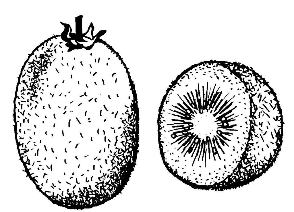 dessin de kiwi