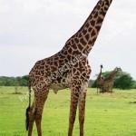 image de girafe