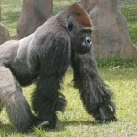 image de gorille