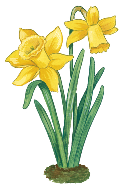 Dessin de jonquille 6 - Dessin de fleur en couleur ...