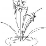 dessin de jonquille