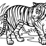 dessin de tigre