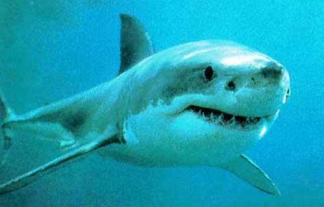 image de requin