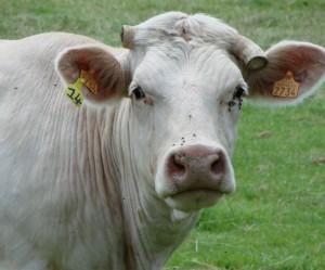 image de vache