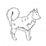 dessin de husky