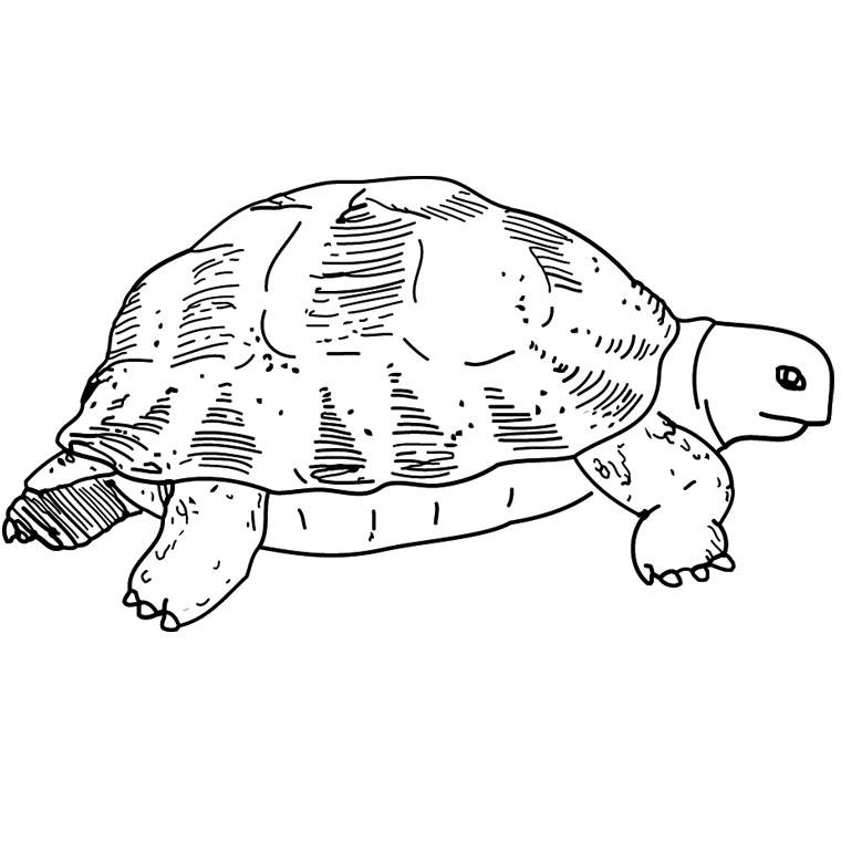 Dessin de tortue 9 - Dessin d une tortue ...