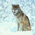 image de loup