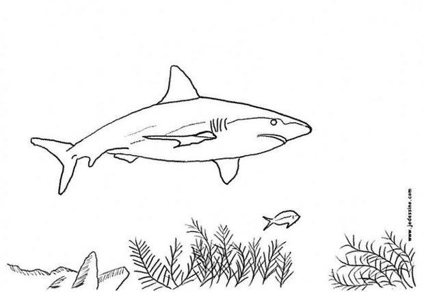 Dessin de requin - Modele dessin requin ...