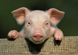image de cochon