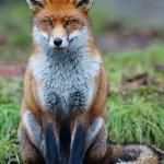 image de renard